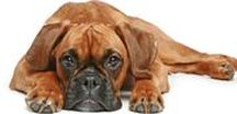 BOXERS / The Blissful Dog products featuring Boxers, Boxer historical tidbits, other fun stuff with Boxers. Collected for your Boxer loving pleasure!