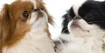 JAPANESE CHIN / The Japanese Chin is a delightful toy dog - elegant, graceful and truly deserving of their adoration. The Japanese Chin was once kept in ornamental bird cages and admired in ancient Japanese royal courts.