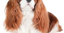 CAVALIER KING CHARLES SPANIEL / The Royal Spaniel - The Cavalier King Charles Spaniel has been immortalized in at, film and literature. But their most lasting contribution is that of adored companion and trusted friend.