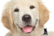 GOLDEN RETRIEVER / Happy, smart, easy-to-get-along-with and all those glorious shades of blond! What's not to adore about the Golden Retriever?