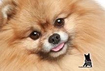 POMERANIAN / Is there any breed of dog that is sassier or more delightful than the Pomeranian? That smile, that bouncy, confident gait…Poms steal hearts at a glance.