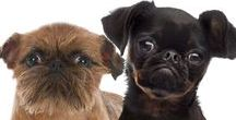 BRUSSELS GRIFFON / What a delightful imp the Griff is! I am absolutely smitten with them.