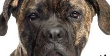 CANE CORSO / Powerful, Imposing, Majestic. The Cane Corso is one intimidating dog. But to know the Cane Corso is to love them!