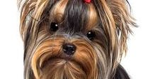 YORKSHIRE TERRIER / The Yorkshire Terrier was developed to catch vermin that infested clothing mills and mine shafts during the early 1800s in England. Thankfully now they don't have to do THAT for a living now!