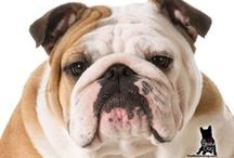 BULLDOG / Did you know Bulldogs are often called the Sour Mug in the United Kingdom?