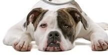 AMERICAN BULLDOG / American Bulldogs are one of the handful of uniquely Made in the USA breeds of canine.