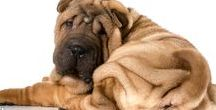 """CHINESE SHAR-PEI / At one time the Chinese Shar-Pei was the rarest breed of dog in the world. After a phenomenal comeback the """"wrinkle"""" dog has become a mainstay at dog shows and as a beloved companion."""