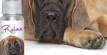 MASTIFF / One of the largest of dog breeds, the English Mastiff is truly, totally and completely a Gentle Giant...unless you threaten his family.