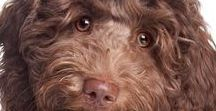 LABRADOODLE / The Labradooodle is the quintessential all-around great dog. The perfect family dog, from the jaunty personality to their great looks, plus, the name is FUN to say!