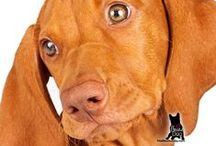 VIZSLA / The Vizsla is a sleek, hard-working dog of German ancestry. From their athletic build to the striking coloration, the Vizsla is a great companion and an excellent working partner in the field.