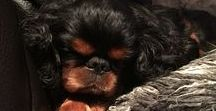 ENGLISH TOY SPANIEL / The English Toy Spaniel is a delightful, loving companion dog. A little bit shyer than their Cavalier cousin, they are gentle souls in a royal fur package.
