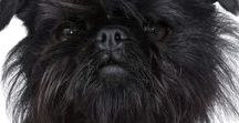 """AFFENPINSCHER / Of course, you have heard the name AFFENPINSCHER means Monkey Face Dog and it is so, so apt. The literal German translation breaks down to """"affen"""" means Monkey and """"pinscher"""" means dog. They were originally called Zwergaffenpinscher in the 1600s and that added """"zwerg"""" or """"Little"""" to the name. It was later shortened in translation (thank goodness)."""