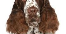 SPRINGER SPANIEL / The Springer Spaniel is a loving companion, a fabulous dog for the field and one of the BEST EVER sofa surfing buddies. Keep your best friend's nose in tip-top shape with handcrafted NOSE BUTTER®.