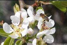 Nos amies les abeilles / Abeilles qui butinent, abeilles qui volent ou abeilles dans la ruche
