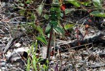 Dragonfly/damselfly/Libelles/juffers