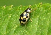 Ladybug/Lieveheersbeestje