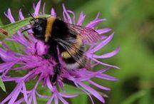 bumblebee/hommels