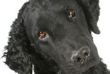 CURLY COATED RETRIEVER / The Curly Coated Retriever is an old English breed of yep, bird retrieving dogs. Known for their soft mouth and curly coat, they are also lovely companion dogs.