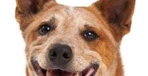 AUSTRALIAN CATTLE DOG / The Australian Cattle Dog is an impressive dog. While not for everyone, this dog is the backbone of many a farm or ranch. They owe a lot of their distinctive looks to the Dingo.