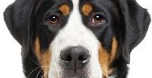 GREATER SWISS MOUNTAIN DOG / It is assumed that all of the Swiss Mountain Dogs, known as sennenhund, a group that includes the Entelbucher, Appenzeller, Bernese Mountain Dog and Greater Swiss Mountain Dog, were developed from dogs native to the Alps mountains in Switzerland at the time of the Roman Empire.