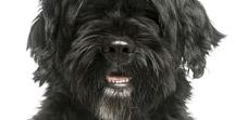 """Portuguese Water Dog / In 1297, yes 1297, a monk wrote of a sailor who was brought to shore by a dog who was described as """"black coat of rough hair, cut to the first rib and with a tuft on the tip of his tail."""""""