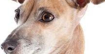Italian Greyhound / The Italian Greyhound is MUCH more than a little Greyhound.