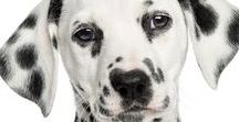 Dalmatian / The Dalmatian is one of the most recognizable of dogs breeds. Dots right. Sorry, but that pun was spot on...
