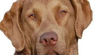 Chesapeake Bay Retriever / The Chesapeake Bay Retriever has a back story that sounds like the plot of a movie. In 1807 a ship wrecked off the shore of Maryland. Two puppies a boy, named Sailor, and a girl, Canton, were rescued from the Chesapeake Bay and went on to form the backbone of the breed.