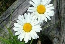 daisies / Daisies