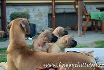 "Vrh ""B"" Happy Chilli Dogs / Litter ""B"" Happy Chilli Dogs / 23rd September 2014 was born puppies in our kennel - Litter ""B"" Mother: Abby Happy Chilli Dogs (Egisthe d´Iskandar x Zarah della Baia Azzurra) Father: Lucas Big Lord (Középföldi Castor x Illora of Island´s Dream) We have 8 fawn males and 3 fawn females. If you are interested in our puppies, cotact us.  www.happychillidogs.cz"
