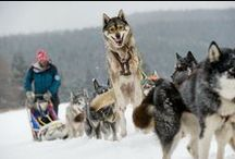 Dog sledding in Czech Republic / Did you ever try dog sledding? with czech Adventures you can.