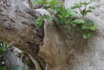 nz puriri tree