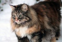Maincoon Cats and Kittens / We also have 2 male Maine Coons at home, Symba and DeeJay. Symba is now 15 months and DeeJay is 4 months old.