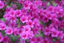 Rhododendron / Sleči / Rhododendron / Sleči