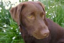 Labrador dogs / Arran is my gorgeous choc labby...beautiful girl.