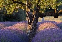 My beloved Provence / I love Provence! But I mostly love reading Peter Mayle's books on Provence!