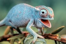 Adaptable Chameleons / Discover the ever-changing abilities of the chameleon in honor of Xavier, the all-knowing chameleon from the fable, Taking Flight!.