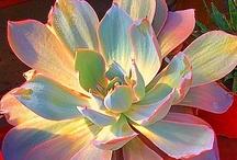 Sweet Succulents~
