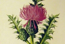 Thistles & Teasel / Walking through the pastures... two plants that stood tall in a well-trimmed landscape~