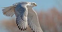 Raptors / Portraits and photographs of hawks and raptors.