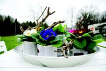 Primula acaulis Paradiso / beautiful strong and sparkling primroses http://primula-paradiso.com