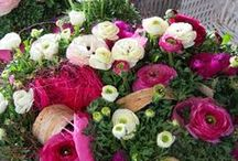 Ranunculus Sprinkles / Beautiful Sprinkles, strong and rich flowering potplants for home & living on the patio http://www.ranunculus-sprinkles.com