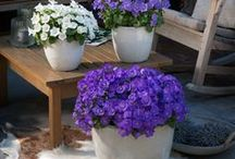 Campanula Florentes / Campanula is Latin for 'little bell', and that is the shape of the flowers. Campanula is suitable for indoor as well as outdoor. Enjoy the inspiration!  www.campanula-florentes.com
