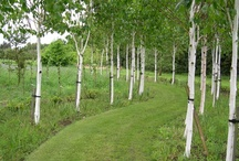 Birch trees for Nebraska / by Nebraska Statewide Arboretum