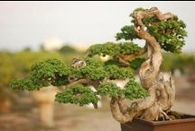 Bonsai Love / For The Love Of The Magnificent Bonsai Tree  / by Marwa Bakry