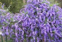 Hardenbergia Collection