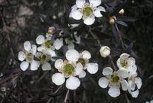 Leptospermum Collection