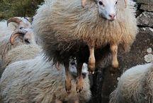 Sheepspiration / Sheep with attitude