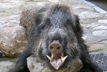 pigs & hogs / Pigs - dead and alive