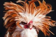The Rooster Crows but the Hen Delivers the Goods! / Roosters, hens, & chicks / by Jenny